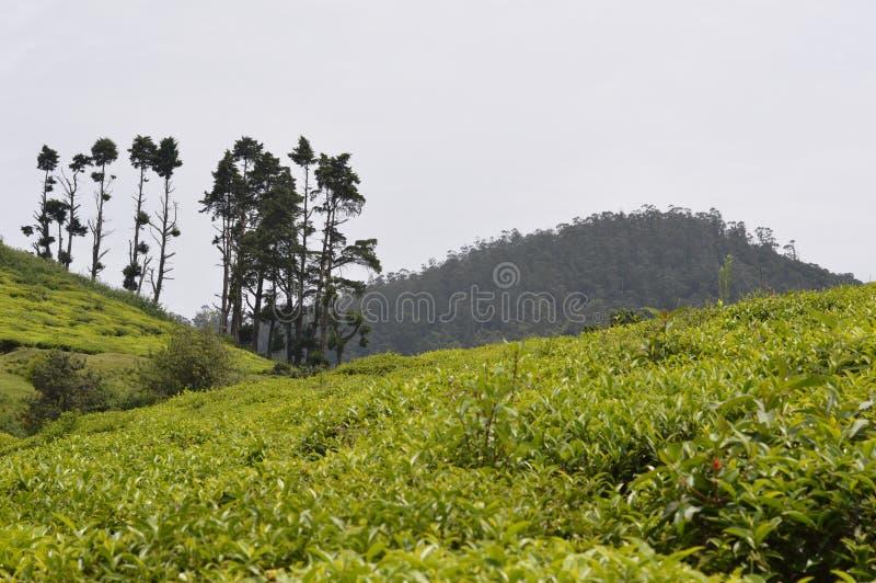 Proprietà del tè, Ooty, India fotografie stock