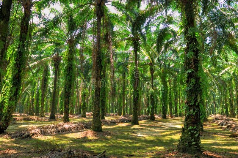 Proprietà della palma da olio fotografia stock