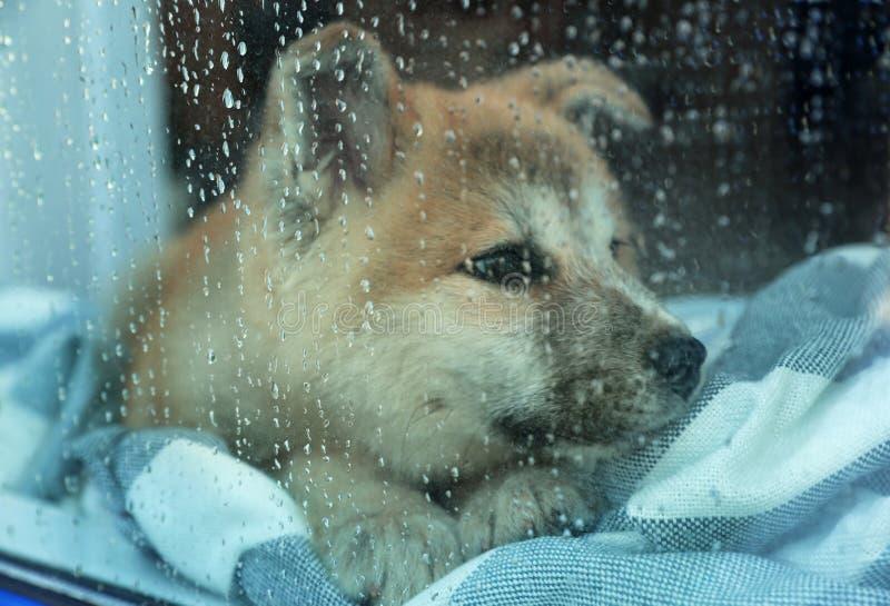 Proprietario aspettante del piccolo cucciolo sveglio di Akita Inu a casa il giorno piovoso, vista attraverso la finestra fotografia stock