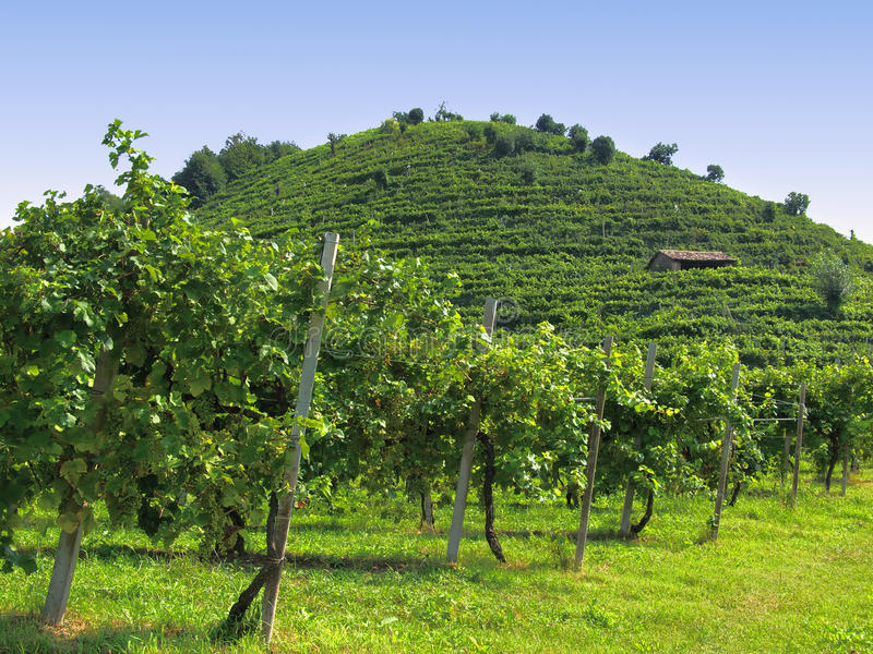 Prosecco vineyards in italy royalty free stock photo