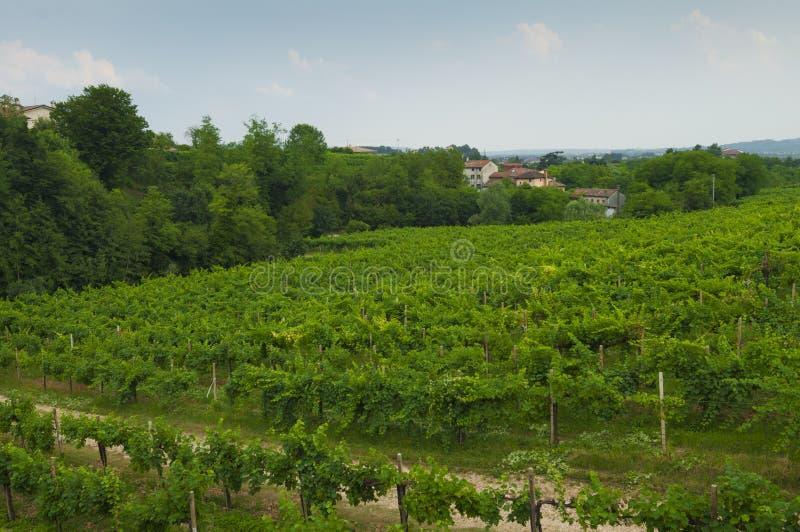Proseccoheuvels, mening van sommige wijngaarden van Valdobbiadene, Italië stock afbeeldingen