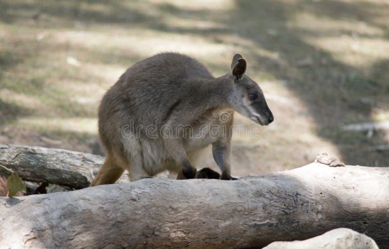 Proserpine rock wallaby wspina się na upadłe drzewo zdjęcia stock