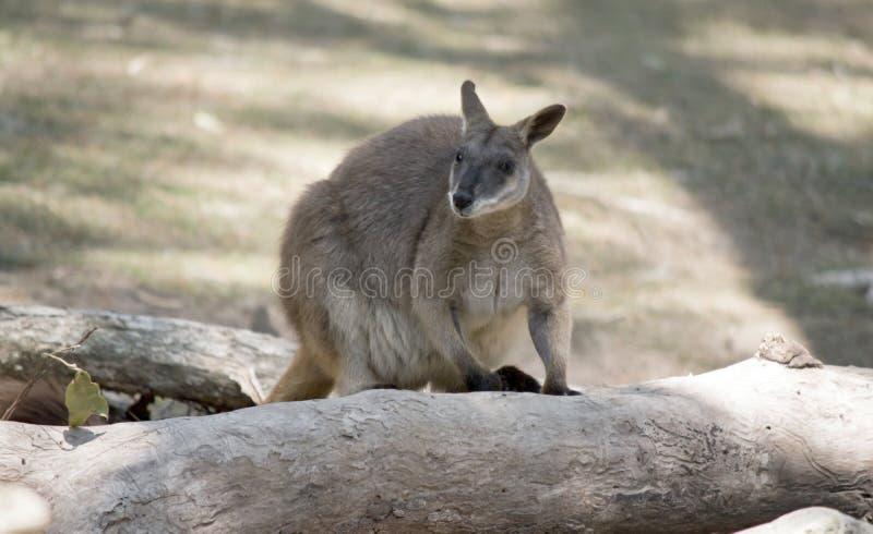 Proserpine rock wallaby wspina się na upadłe drzewo zdjęcie royalty free
