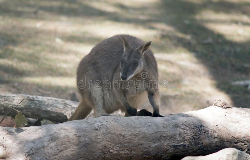 Proserpine rock wallaby wspina się na upadłe drzewo obraz royalty free