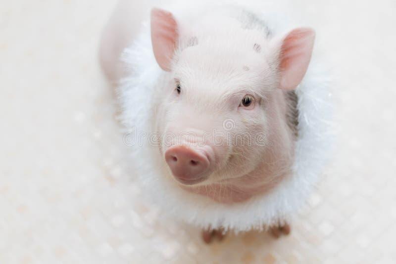 Prosiątko w górę portret śliczna świnia Prosiaczek jest uśmiechnięty zdjęcia stock