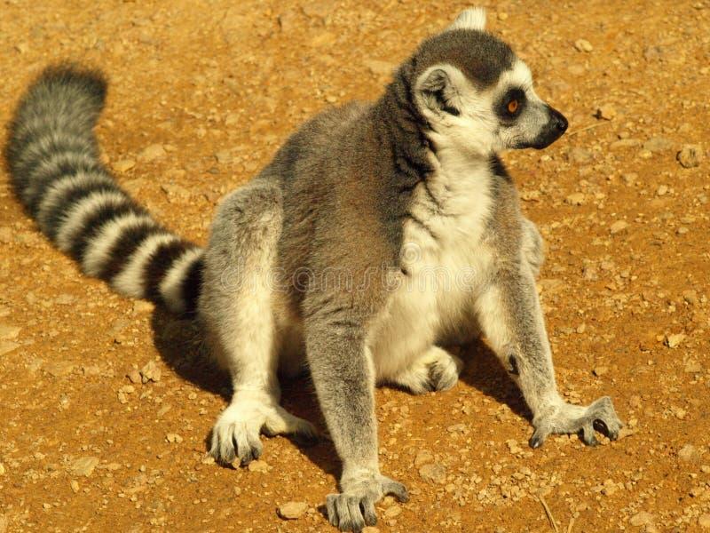prosimian lemur arkivfoto