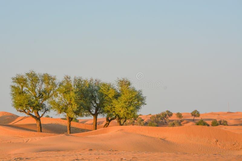 Prosopis Cineraria, arbre du désert d'Arabie, sur les dunes de sable rouge de Dubaï, Émirats arabes unis image libre de droits
