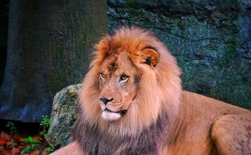 Prosperous, adult lion, looking straight ahead,. Adult male lion, visually ahead, one of the top ten zoos in the world bronx zoo stock image