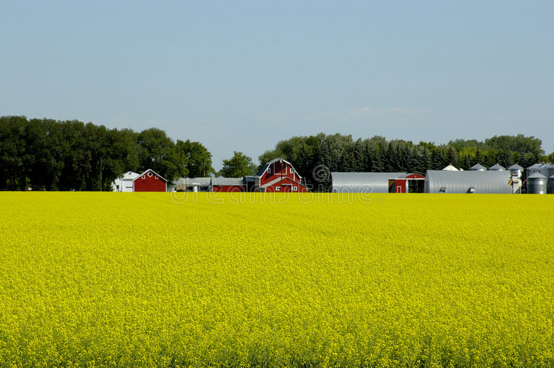 Download Prosperous Farm stock photo. Image of canola, woods, trees - 176934