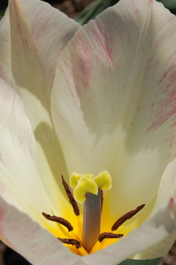 Prospettiva bianca del tulipano fotografie stock libere da diritti