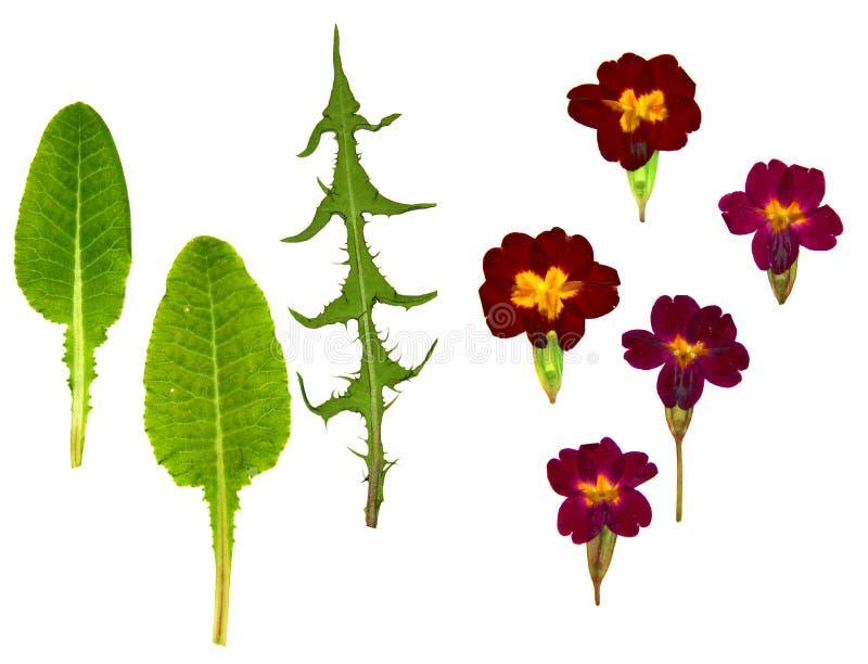 Prospettiva della viola, fiori delicati asciutti della foglia asciutta del dente di leone e immagini stock