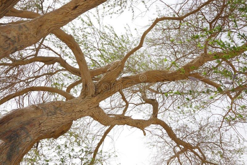 Prospettiva grandangolare dell'albero della vita Bahrain fotografia stock libera da diritti