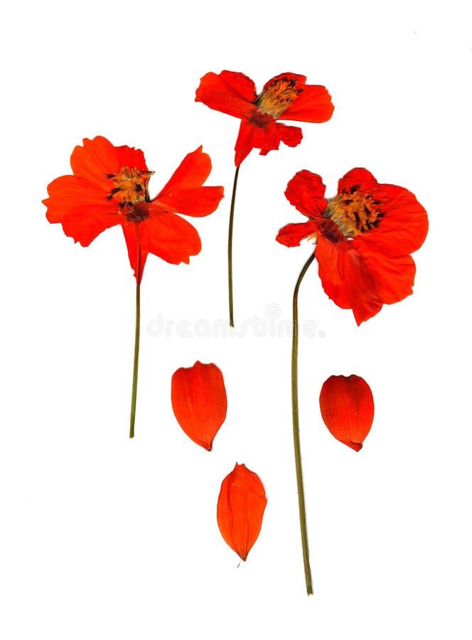 Prospettiva rossa secca di kosmeya immagini stock