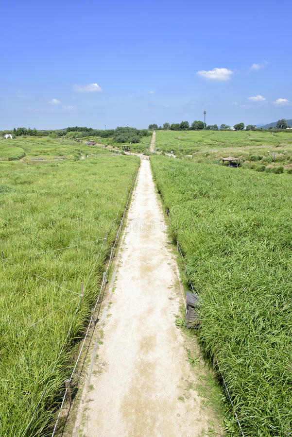Prosta ścieżka w srebnej trawy polu zdjęcie royalty free