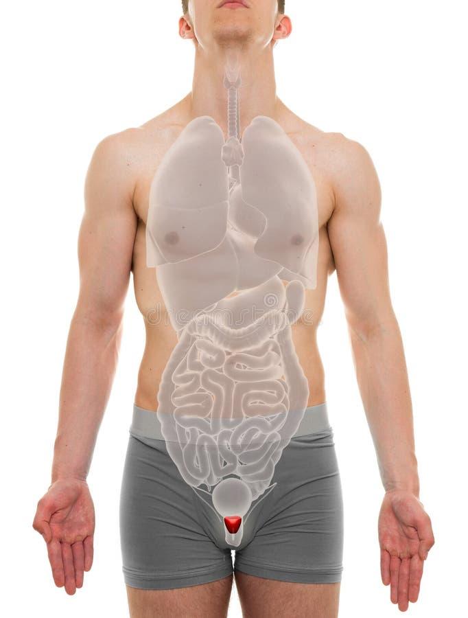 Prostataman - anatomi för inre organ - illustration 3D royaltyfri foto