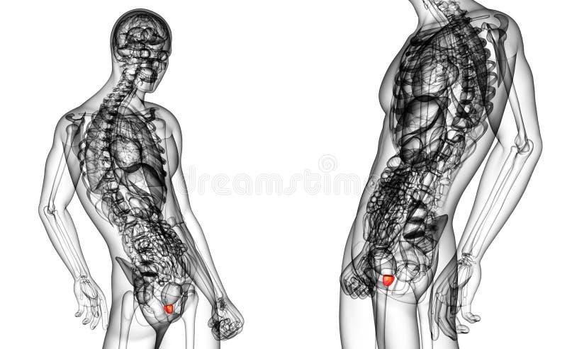 prostate gland stock illustration