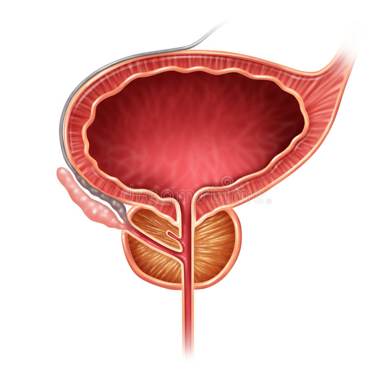 Prostate Organ. Gland on a white background as a medical illustration concept for part of the male reproductive anatomy including the bladder and seminal vector illustration