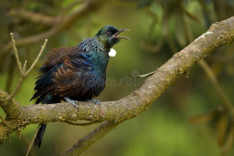 Prosthemadera novaeseelandiae - sammanträde för fågel för skog för Tui endemisk nyazeeländskt på filialen i skogen arkivbilder