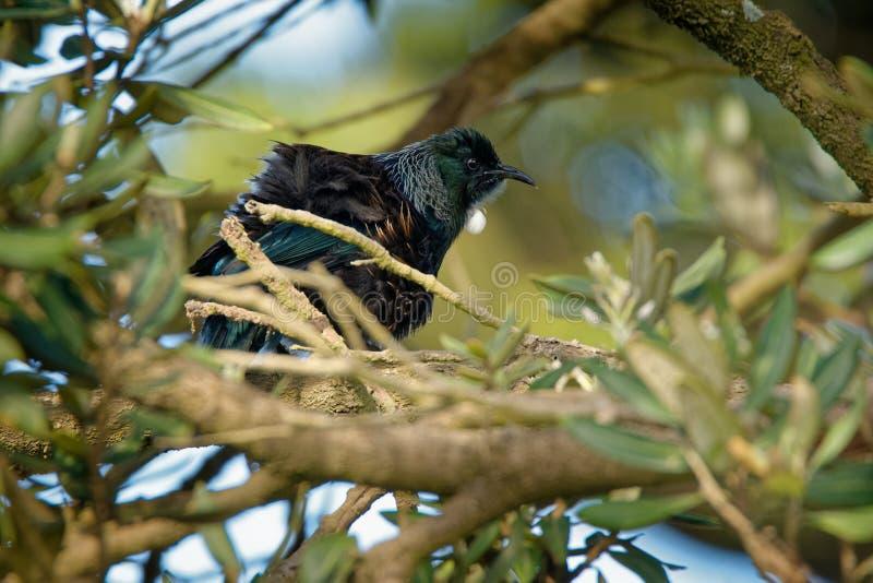 Prosthemadera novaeseelandiae - sammanträde för fågel för skog för Tui endemisk nyazeeländskt på filialen i skogen och sjunga arkivfoto
