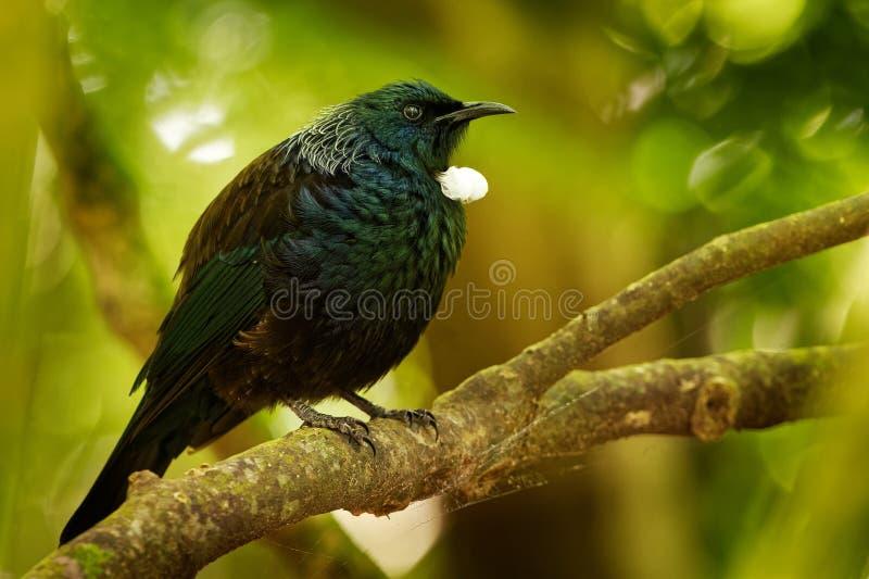 Prosthemadera novaeseelandiae - sammanträde för fågel för skog för Tui endemisk nyazeeländskt på filialen i skogen och sjunga royaltyfri foto