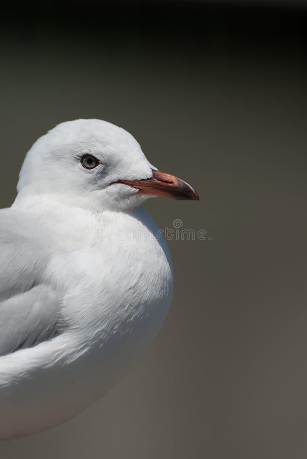 Prosty portret seagull zdjęcie royalty free