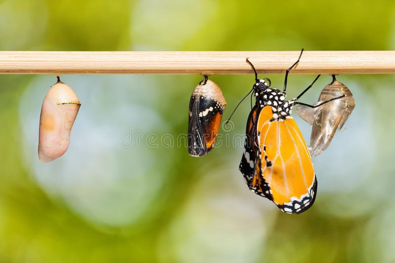 Prosty Tygrysi Danaus chrysippus chrysippus motyl obraz stock