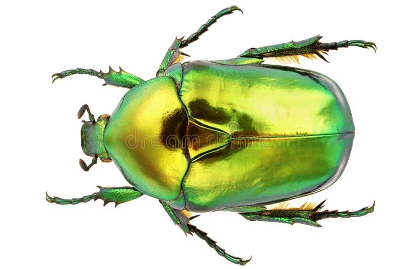 Protaetia Aeruginosa imagem de stock