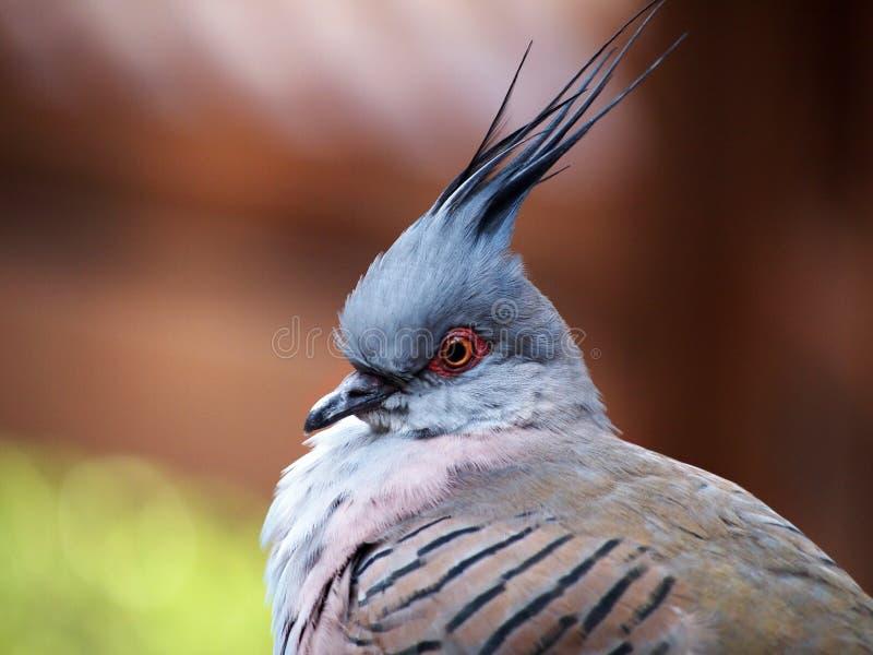 Protarit crêté de pigeon photographie stock libre de droits