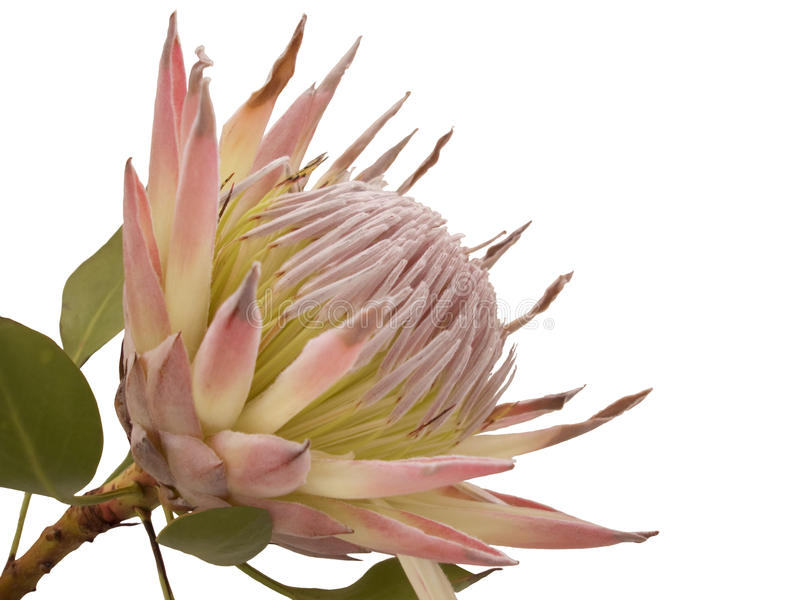 Protea fotos de stock