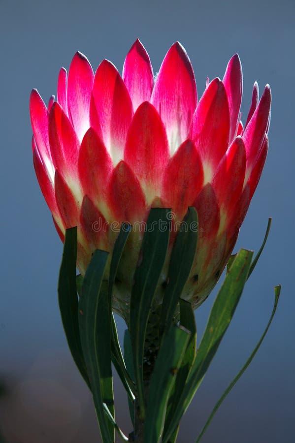 protea στοκ φωτογραφία