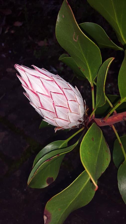 protea στοκ φωτογραφία με δικαίωμα ελεύθερης χρήσης