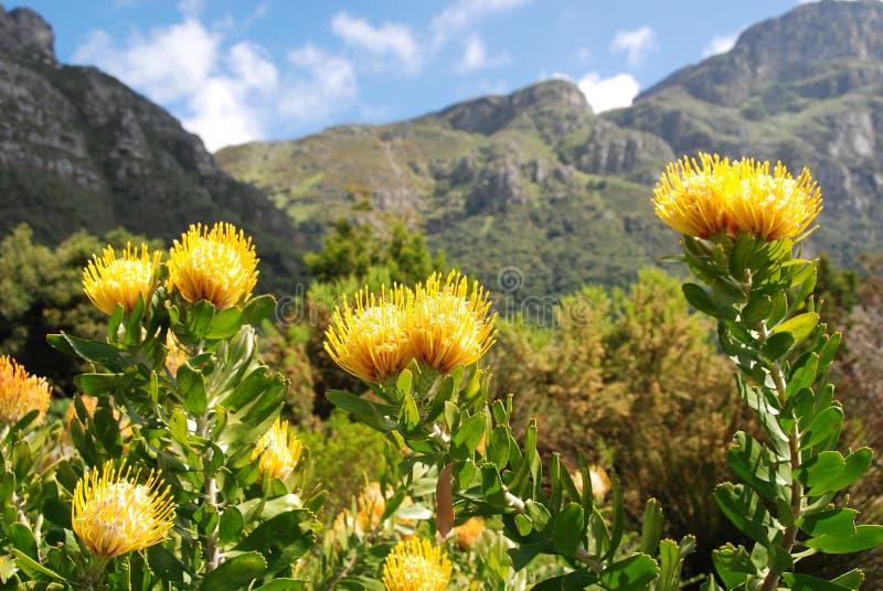 Protea royalty free stock image