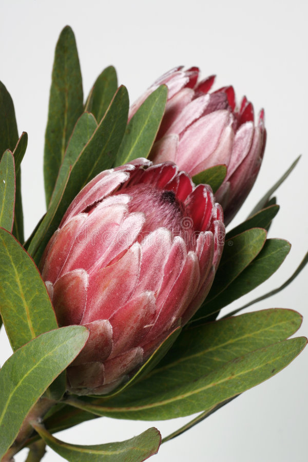 Download Protea стоковое фото. изображение насчитывающей цветок, green - 89000
