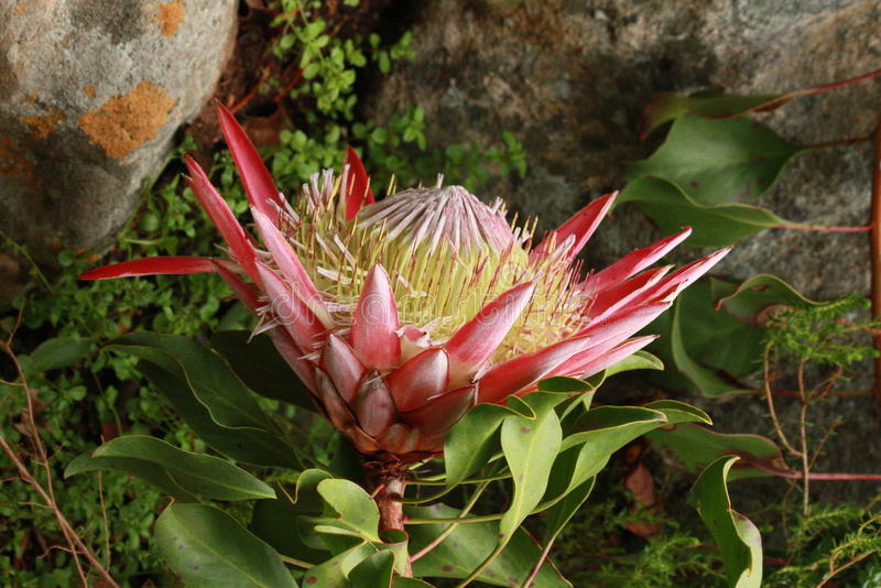 Protea Afrika foto de archivo