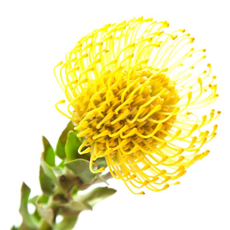Protea amarelo imagens de stock