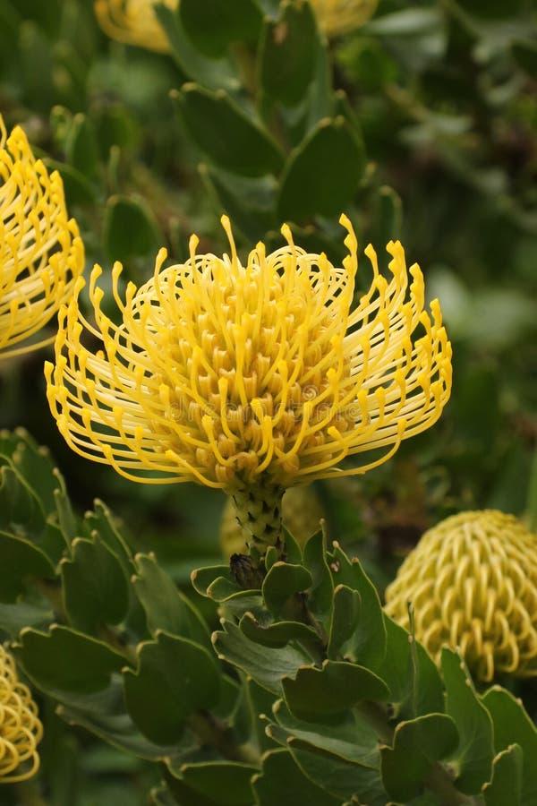 Protea amarillo del acerico fotografía de archivo
