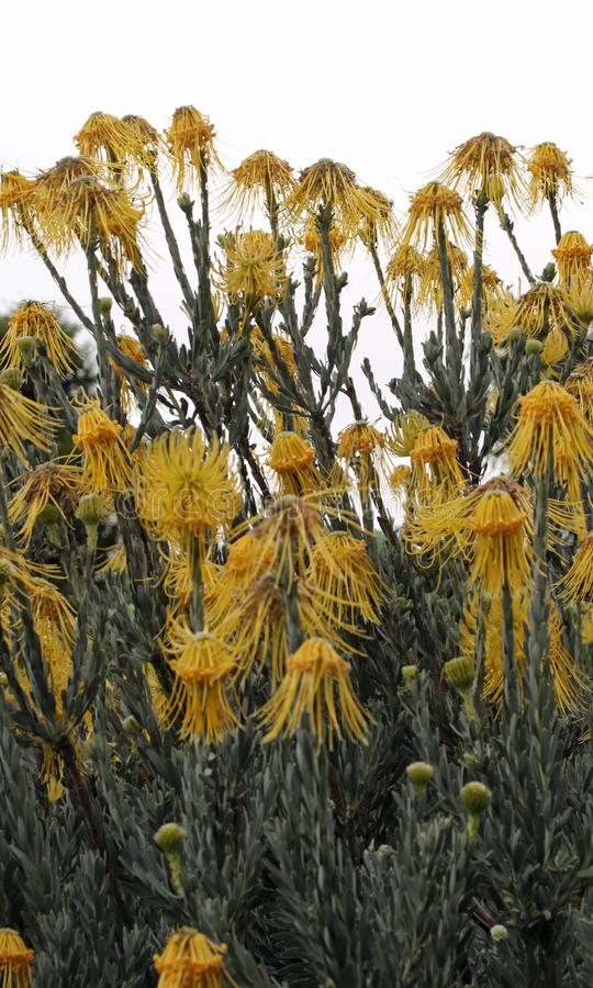 Protea amarillo del acerico fotos de archivo libres de regalías
