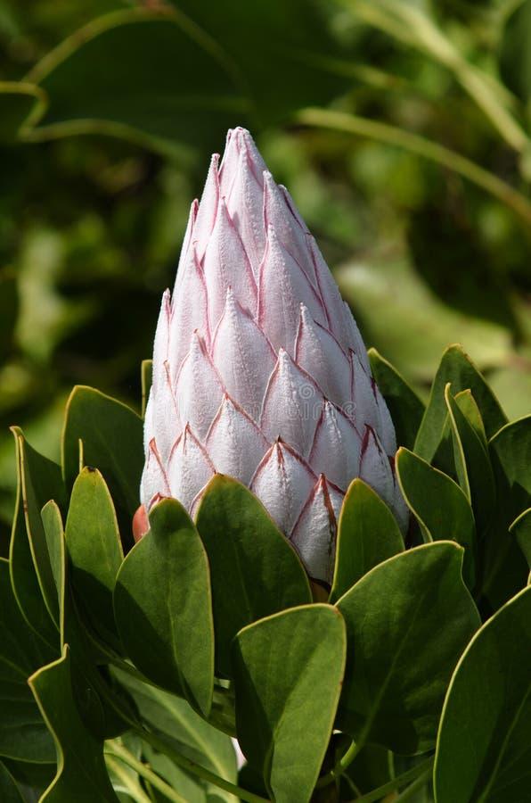 Protea-Blume lizenzfreies stockfoto