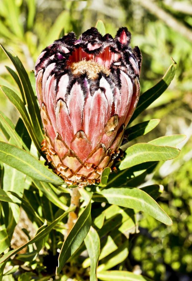 Protea-Blume stockbilder