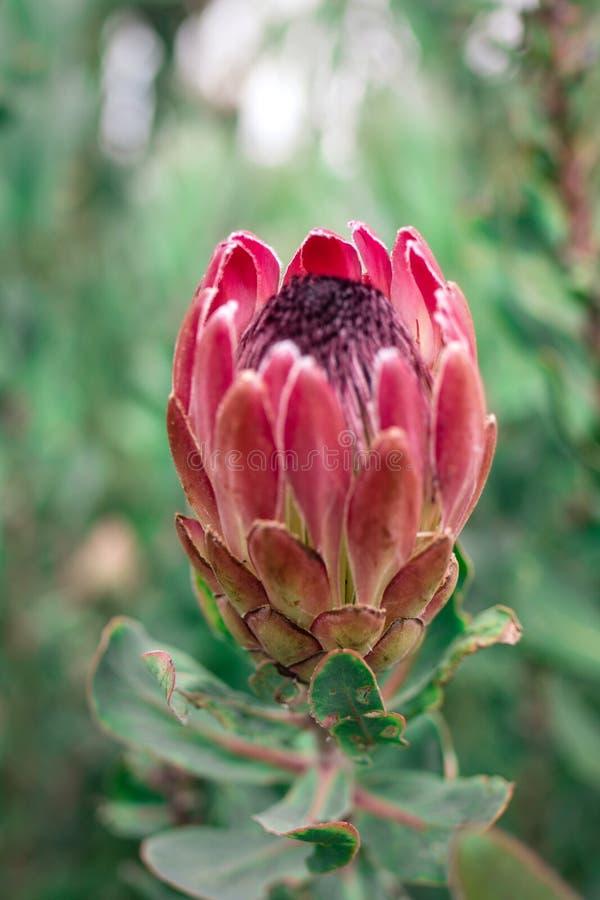 Protea-Blume geöffnet stockfotos