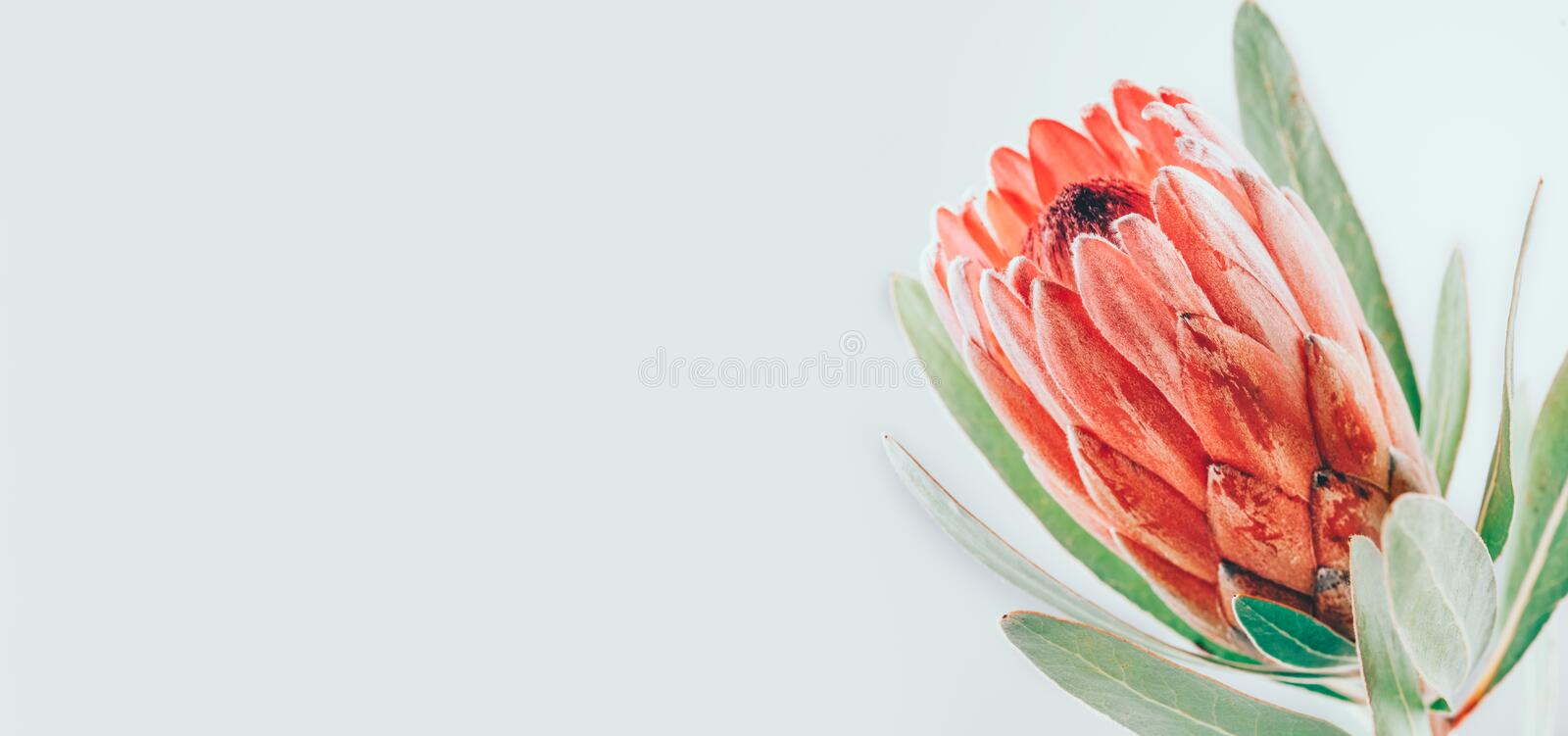 Protea bud closeup. Pink King Protea flower isolated on grey background. Beautiful fashion flower macro shot. Valentine`s Day. Gift stock illustration