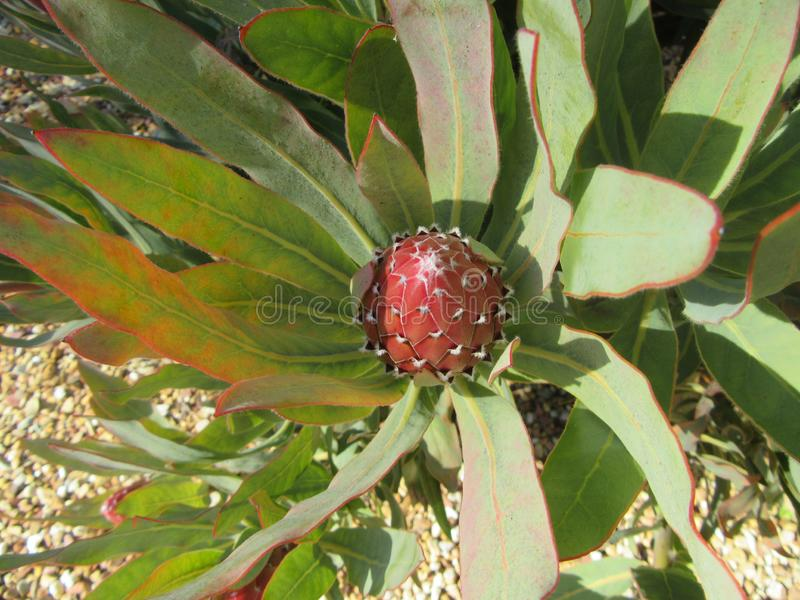 Protea in Bud. Garden, wild, flower, plant, nature, natural, background, colour, red, beauty, southafrica, hertitage royalty free stock image