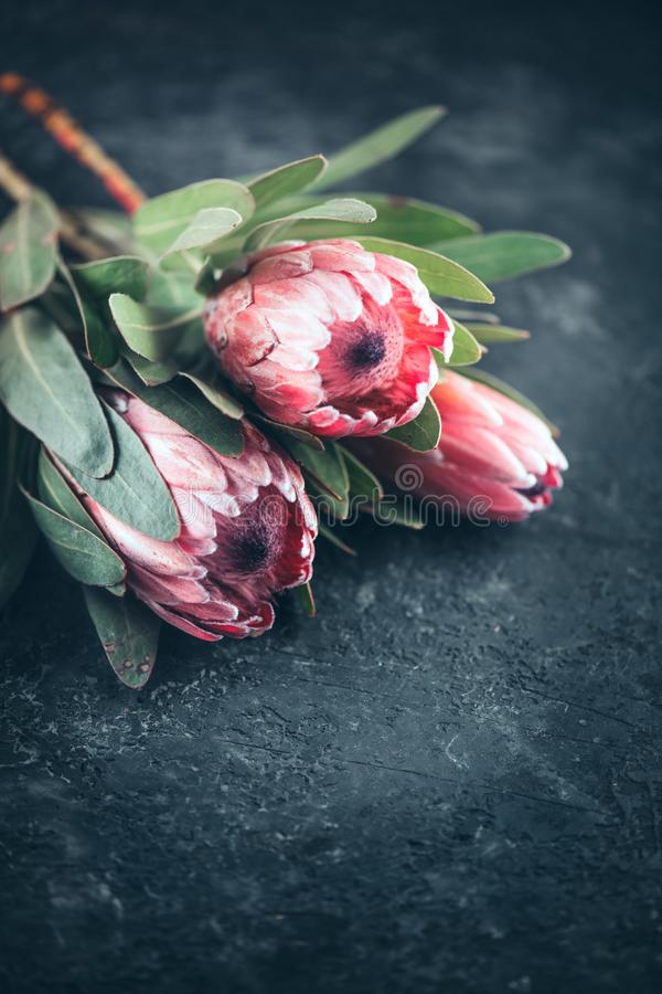 Protea buds closeup. Bunch of pink King Protea flowers over dark background. Valentine`s Day royalty free stock images