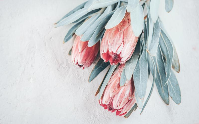 Protea buds closeup. Bunch of pink King Protea flowers over grey background. Valentine`s Day. Bouquet royalty free illustration