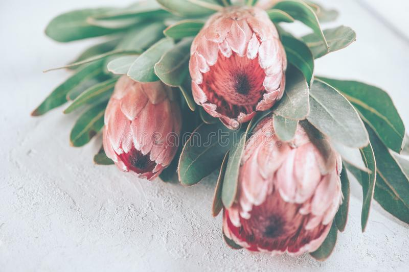 Protea buds closeup. Bunch of pink King Protea flowers over grey background. Valentine`s Day. Bouquet stock images