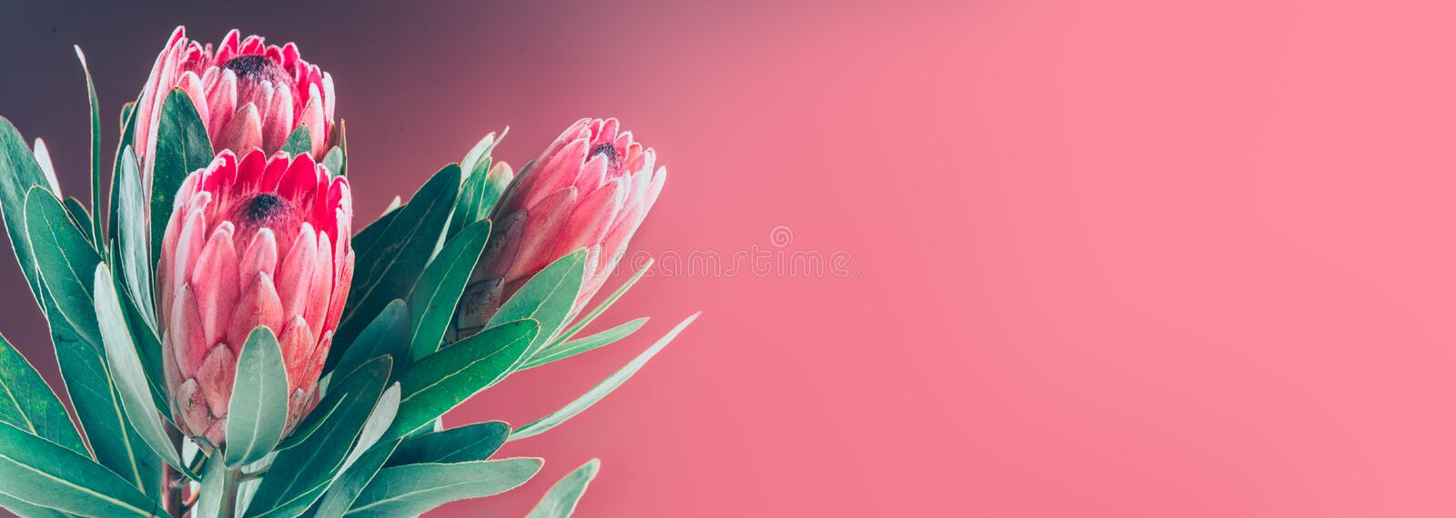 Protea buds closeup. Bunch of red King Protea flowers. Valentine`s Day bouquet. Widescreen stock image