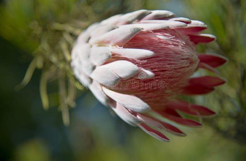 Protea cor-de-rosa fotografia de stock