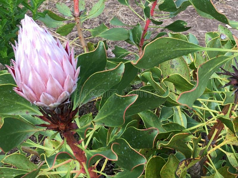 Protea cyanroides, de Koning Protea stock foto