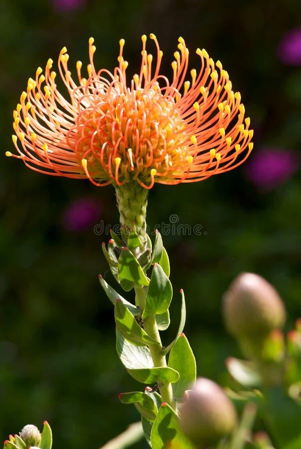 Protea de coussin de Pin photographie stock