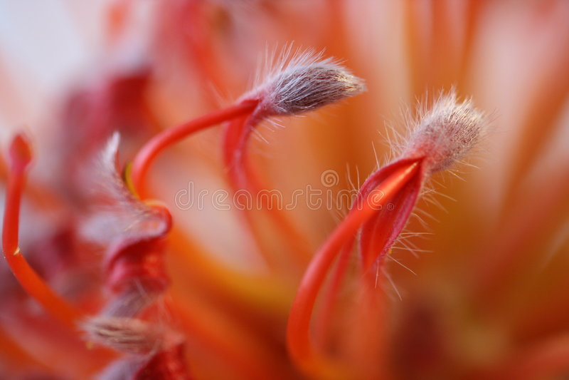 Protea do Pincushion fotos de stock royalty free